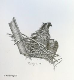 pen and ink, osprey, fledgling, art, artist