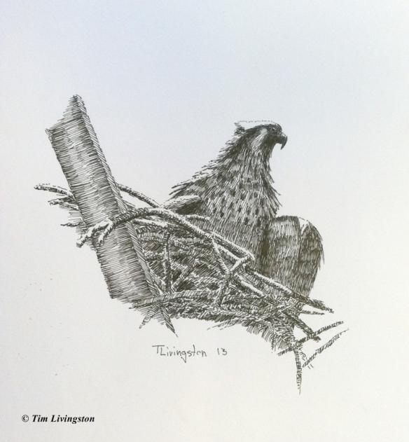 pen and ink, osprey, fledgling, art, artist