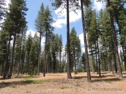 Forest, forester, ponderosa pine, forest