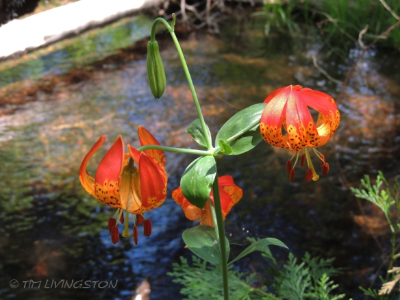 Tiger Lily, lilies, wink, photograghy, God, love, photography, nature, anniversary