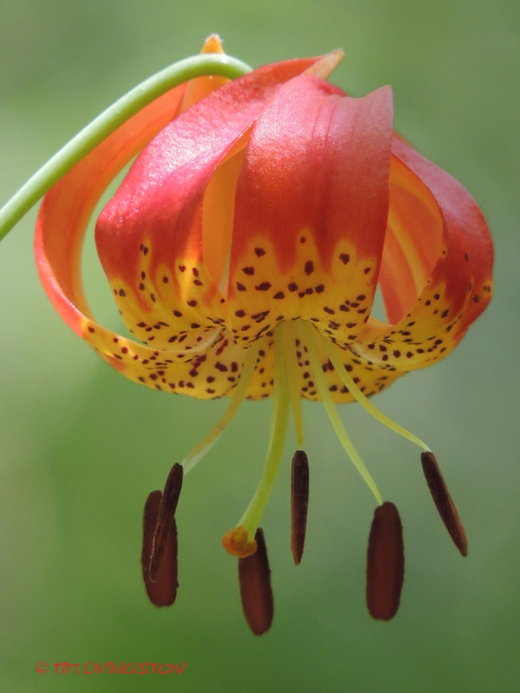 Tiger Lily, nature, wildflower, photography