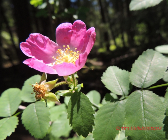 Wild Rose, nature, wildflower, photography