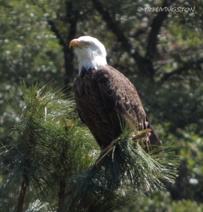 Eagle, Bald Eagle, 4th of July, Independence Day, nature, wildlife photography