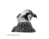 osprey, pen and ink, nature, wildlife, drawing, portrait