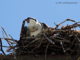 Osprey, fledgling, nature, wildlife, photography