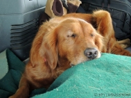 Blitz, road trip, Smith River, golden retriever