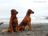 Blitz, Teka, Golden retriever, photography