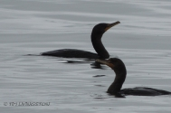 cormorants, wildlife, photography, nature, Smith River
