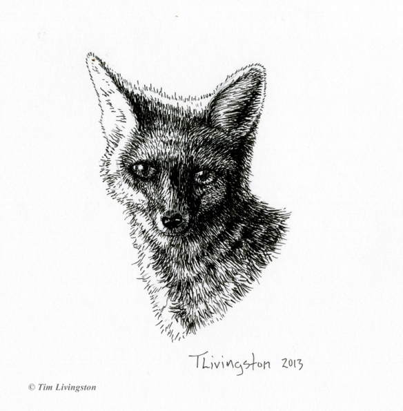 fox, vixen, pen and ink, art, wildlife, nature