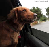 dogs, traveling, golden retriever, photography