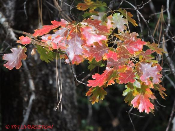 black oak, forest, nature