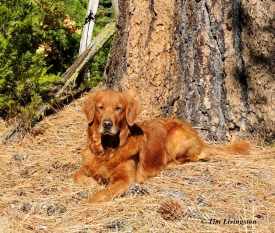 Fall colors, yellow, nature, photography, golden retriever, dog