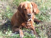 golden retreiver, dog, funny face