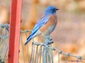 blue bird, nature, wildlife, photography