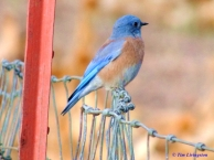 blue bird, nature, wildlife, photography
