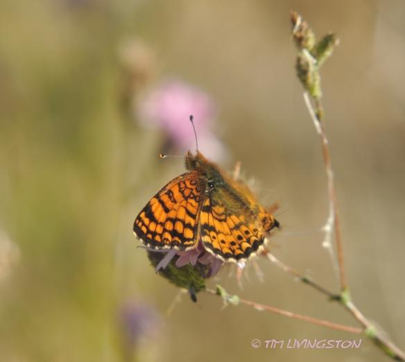 Butterfly, fritillary butterfly