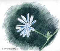 Chicory - watercolor sketch