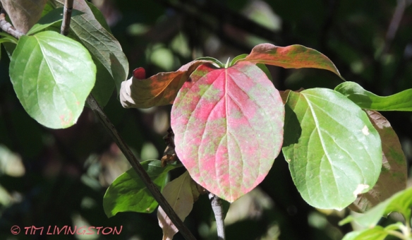 dogwood, Pacific dogwood, nature, fall colors