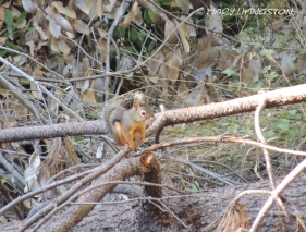 Douglas Squirrel, squirrel, wildlife, nature, photography