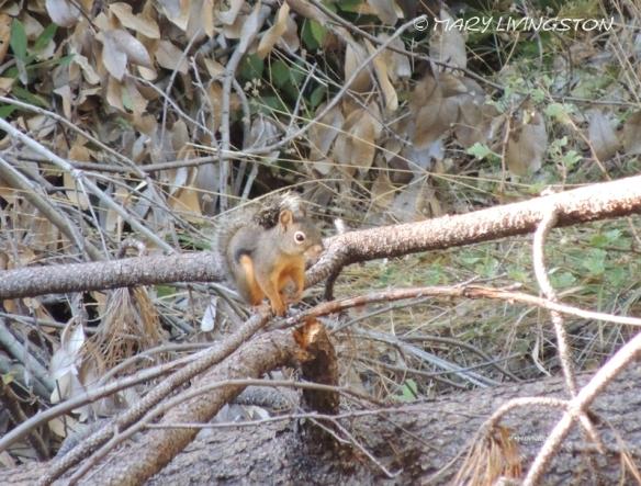 Douglas Squirrel, squirrel, wildlife, nature, photography
