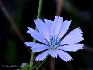 Chicory, wildflowers, nature, photography