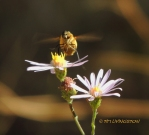 hoverfly, wildfower