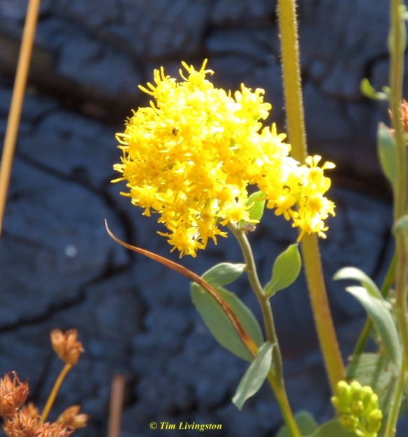 goldenrod, wildflowers