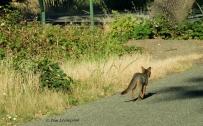 Fox, Grey Fox, photography, wildlife, nature