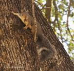 Gray squirrel, squirrel,wildlife, nature, photography