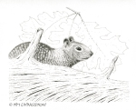 California ground squirrel, wildlife, pen and ink, ink, drawing, squirrel