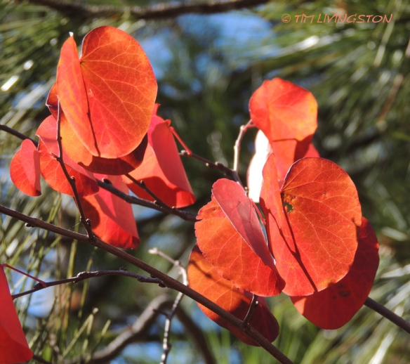 Red bud, Fall color, photography, nature