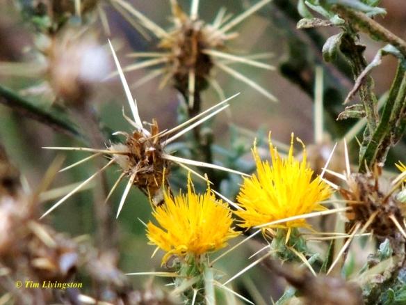 star thistle, wildflower