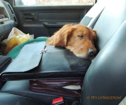 Blitz, golden retriever, dog