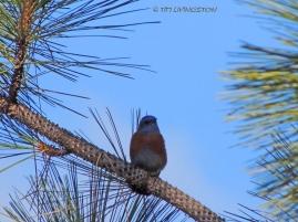 Bluebird-2