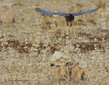 Bluebird-4