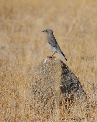 Western Bluebird, nature, photography, birding, wildlife