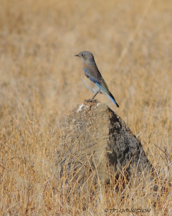 Western Bluebird, nature, photography, birding, wildlife