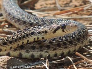 gopher, snake, wildlife, photography