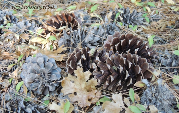 Ponderosa pine, forestry, forest, nature, photography, cones