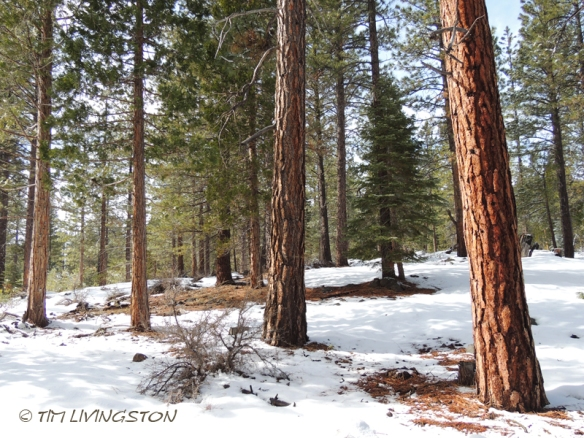 Ponderosa pine, forestry, forest, nature, photography, Eastside pine