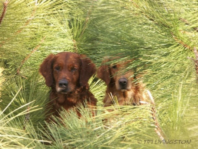 Ponderosa pine, forestry, forest, nature, photography, golden retriever