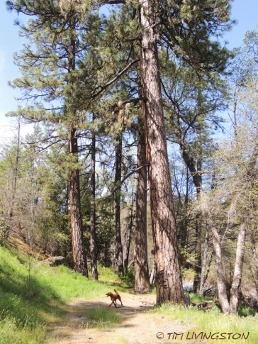 Ponderosa pine, forestry, forest, nature, photography