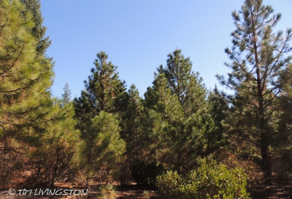 Ponderosa pine, forestry, forest, nature, photography, pine plantation