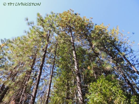Ponderosa pine, forestry, forest, nature, photography, poles