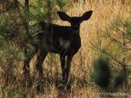 black tail deer, spike, buck, HRA