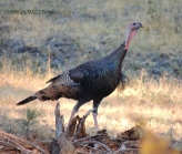 turkey, wildlife, forestry, photography