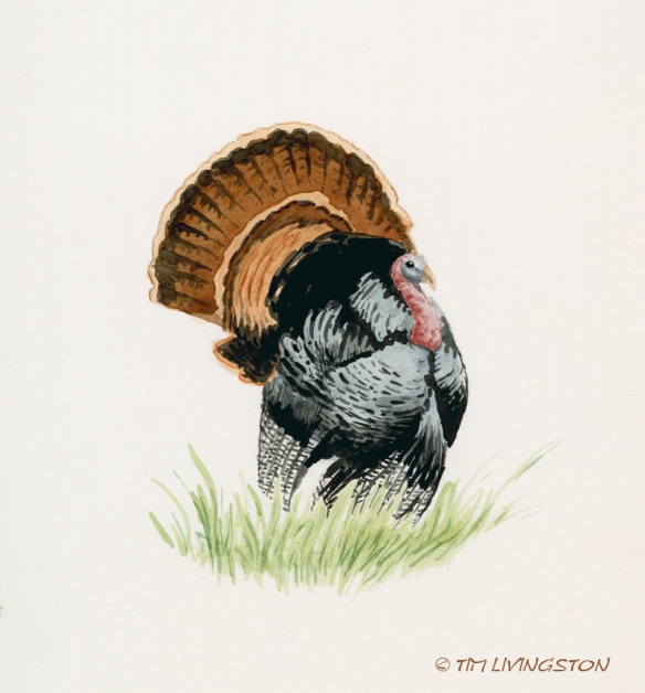 Thanksgiving, wild turkey, turkey, watercolor, watercolour, wildlife