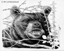black bear, pen and ink, nature drawing
