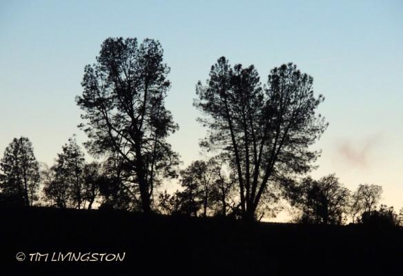 gray pine