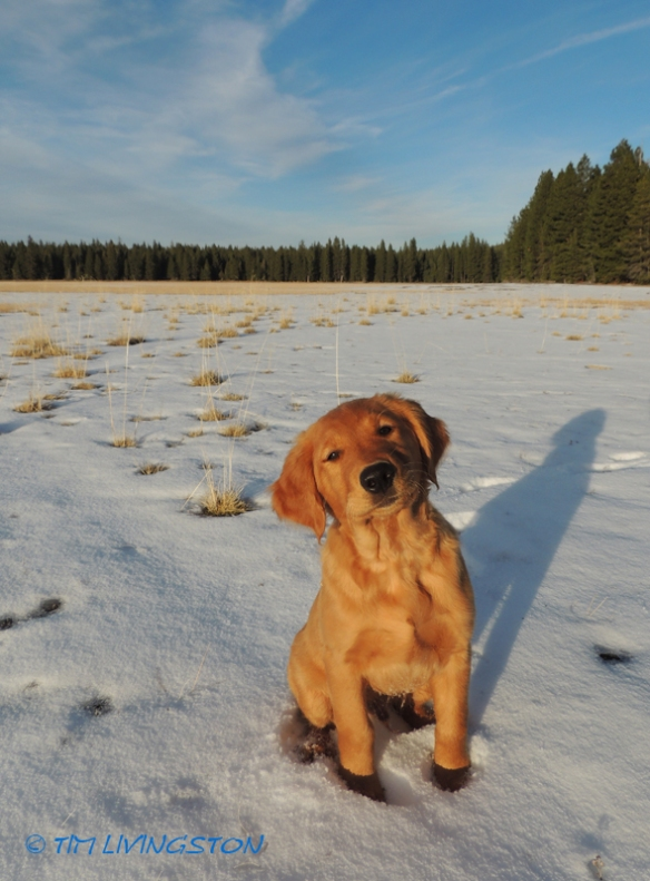 golden retriever, forest, forestry